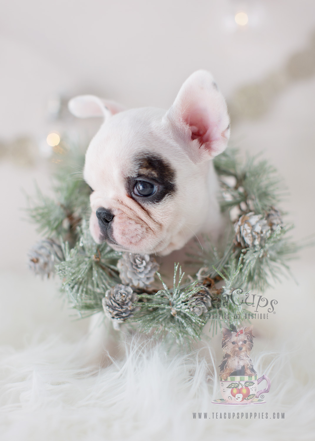 The Frenchie Of Your Dreams Is Here Teacups Puppies