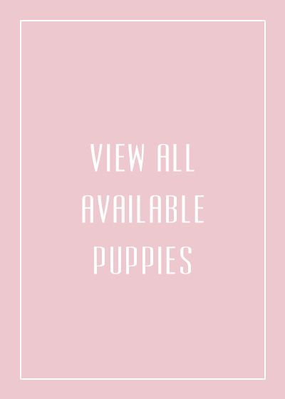 Available teacup puppies for sale