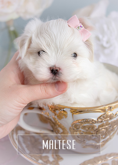 Toy Teacup Puppies For Sale Teacups Puppies And Boutique