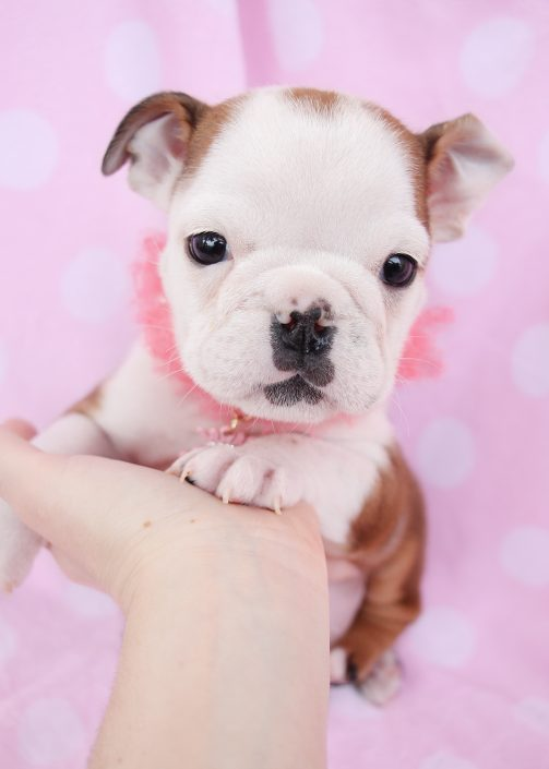 English Bulldog Puppies For Sale by TeaCups, Puppies & Boutique