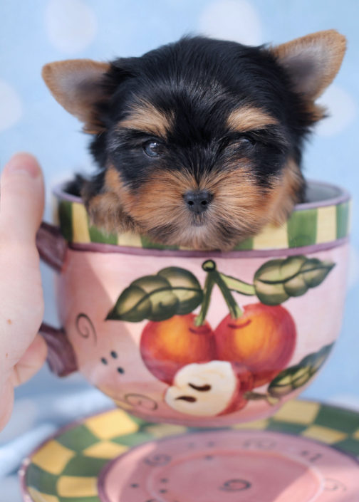 Yorkshire Terrier Puppy ID #366