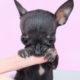 Black Teacup Chihuahua