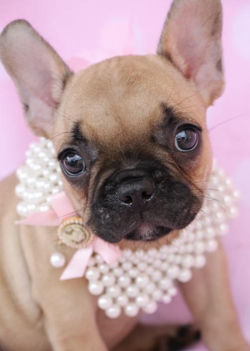 French Bulldog ID #278
