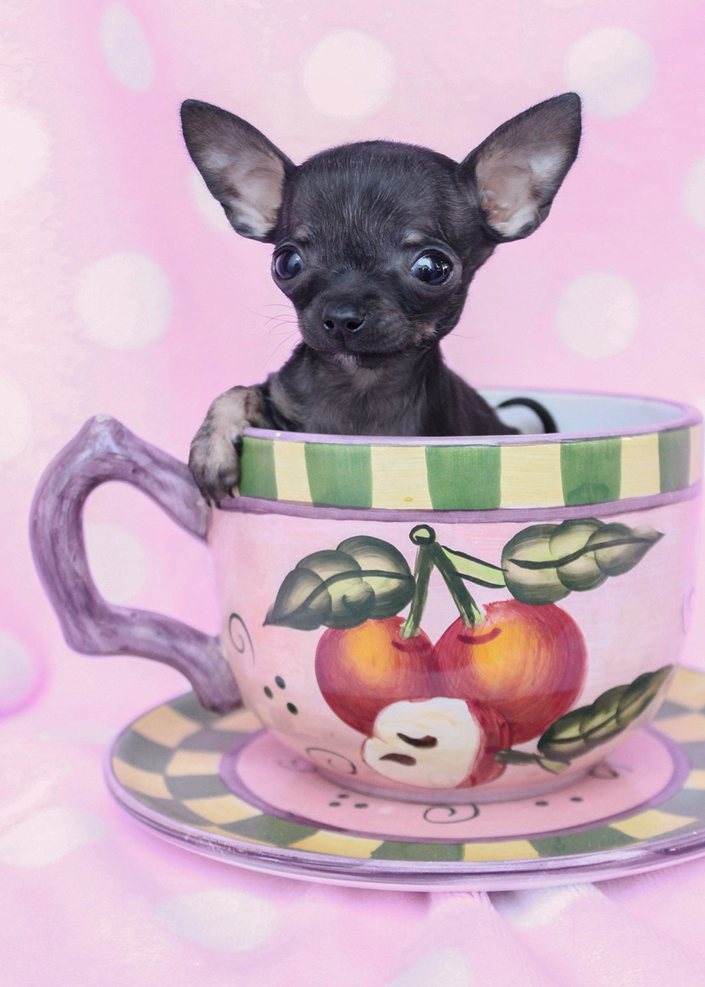 Tiny Teacup Chihuahua Puppies For Sale in South Florida | Teacups