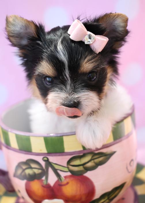 Biewer Terrier ID #269