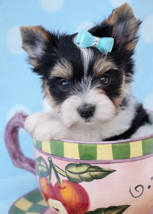 Biewer Terrier ID #267