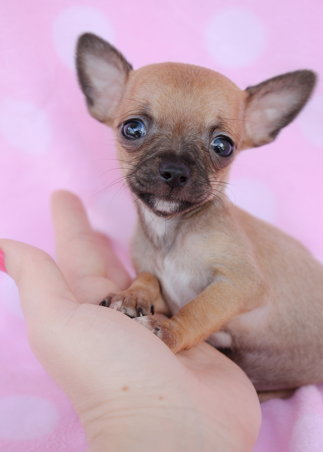 Pictures Of Chihuahua Dogs For Sale