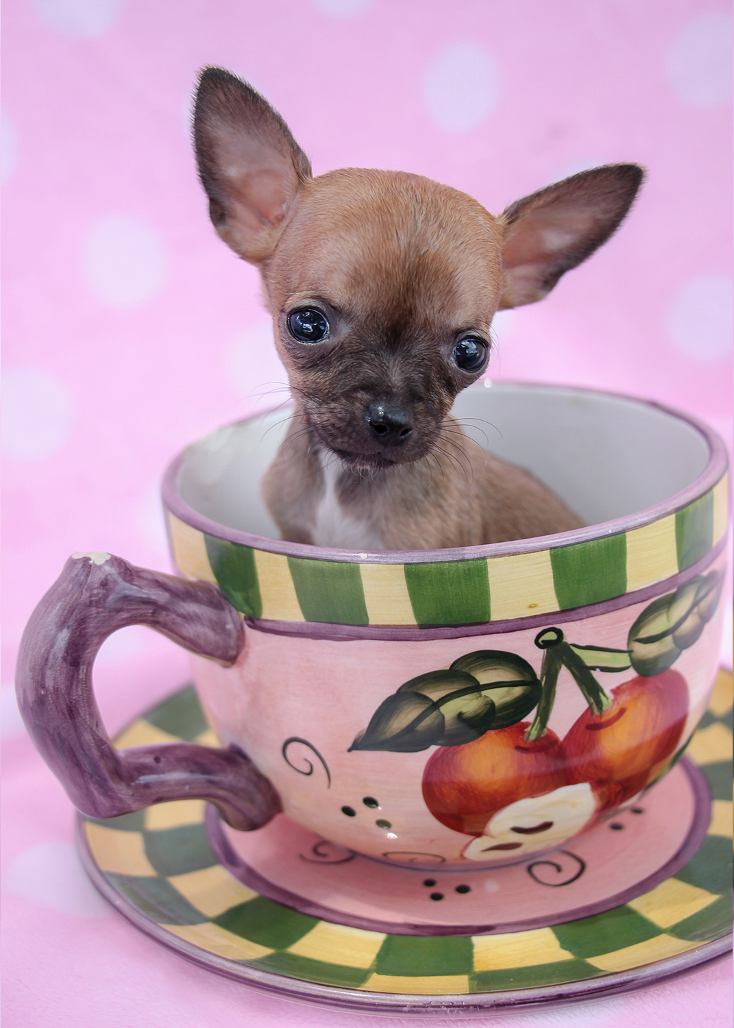 Teacup Chihuahua Puppies Available in South Florida ... | 1071 x 1500 jpeg 365kB