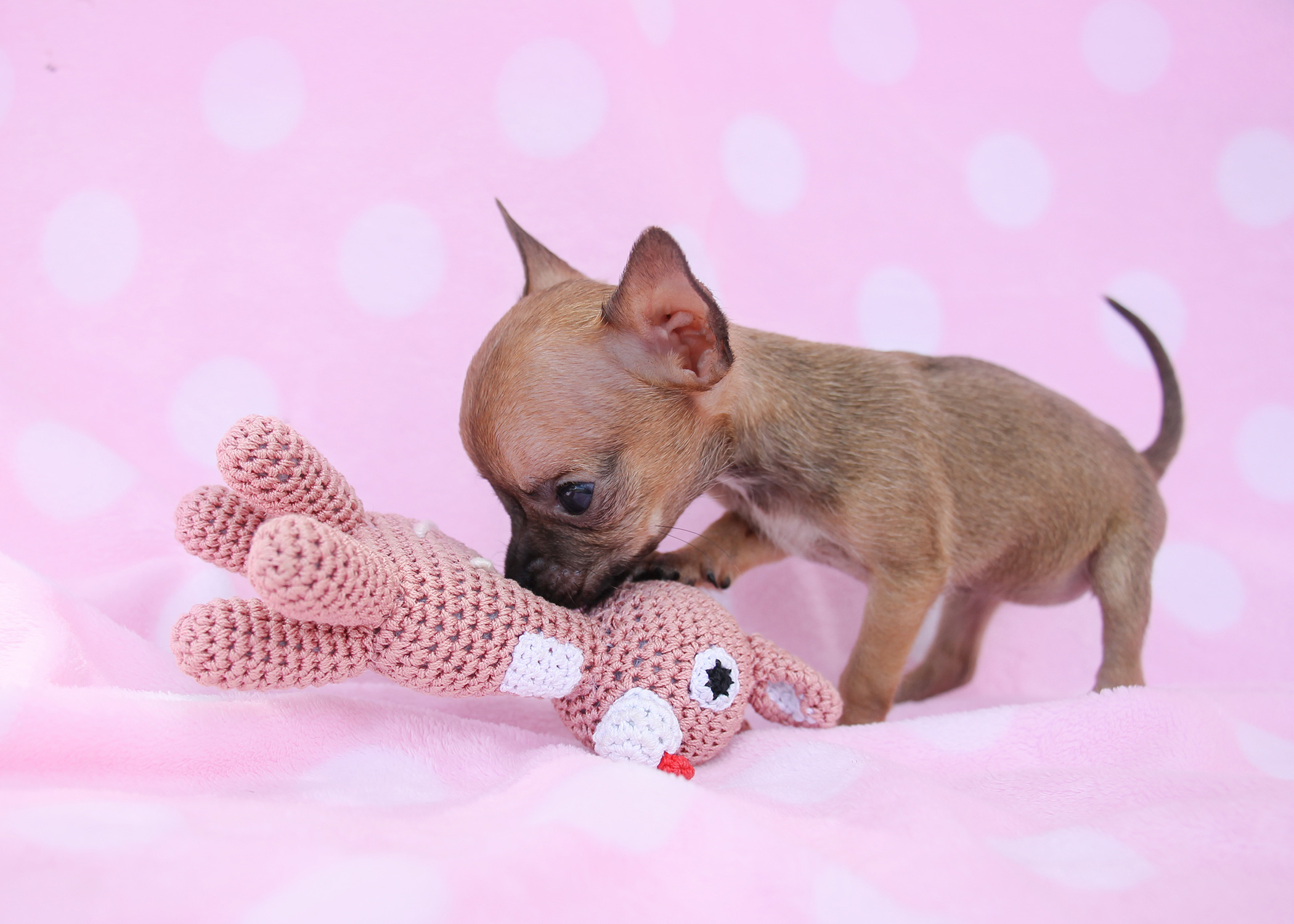 Teacup Chihuahua Puppies Available In South Florida
