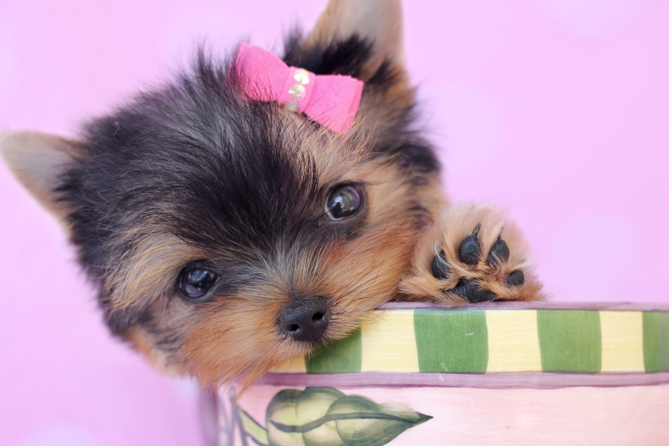 yorkshire terrier puppy for sale at teacups puppies south florida