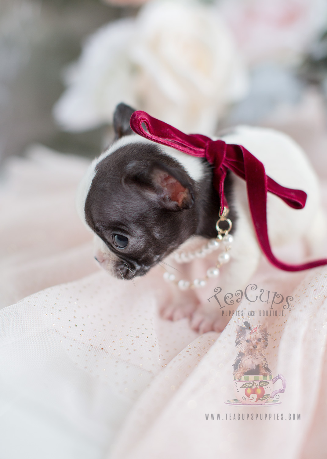 Frenchie Puppies For Sale Florida