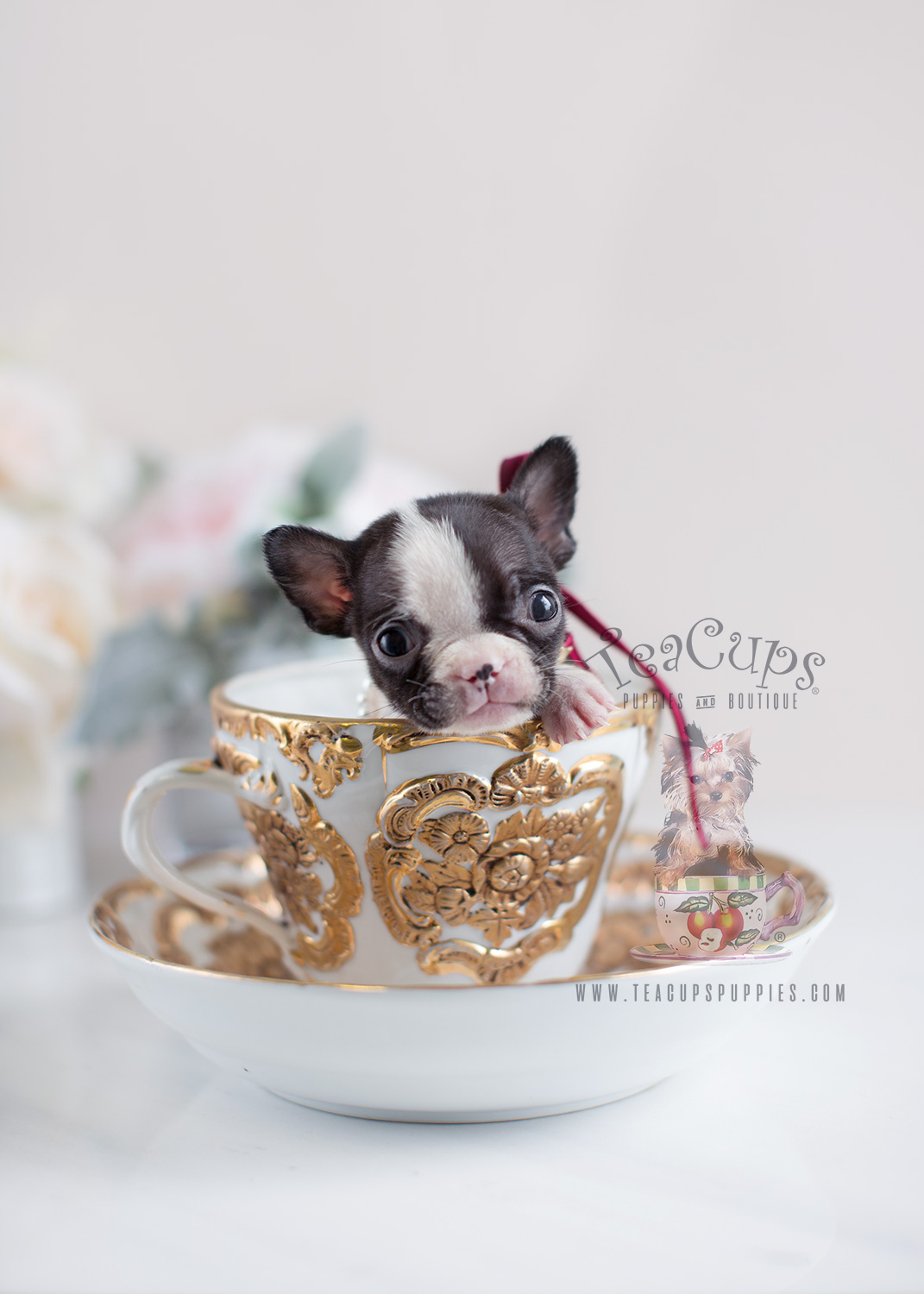 Tiny French Bulldog Puppy For Sale by Teacup Puppies