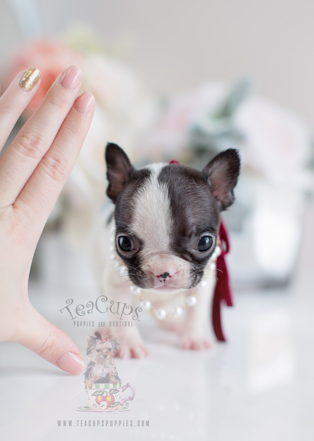 French Bulldog Tiny Puppies