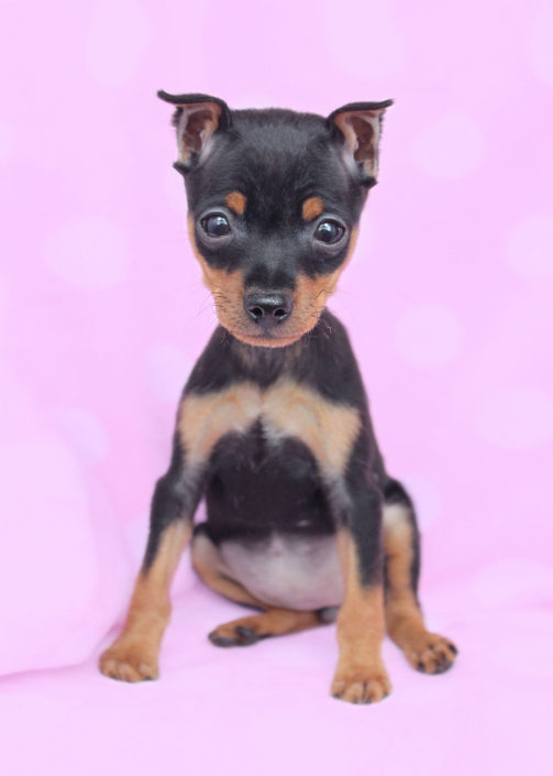Miniature Pinscher Min Pin Puppies For Sale By Teacups Puppies