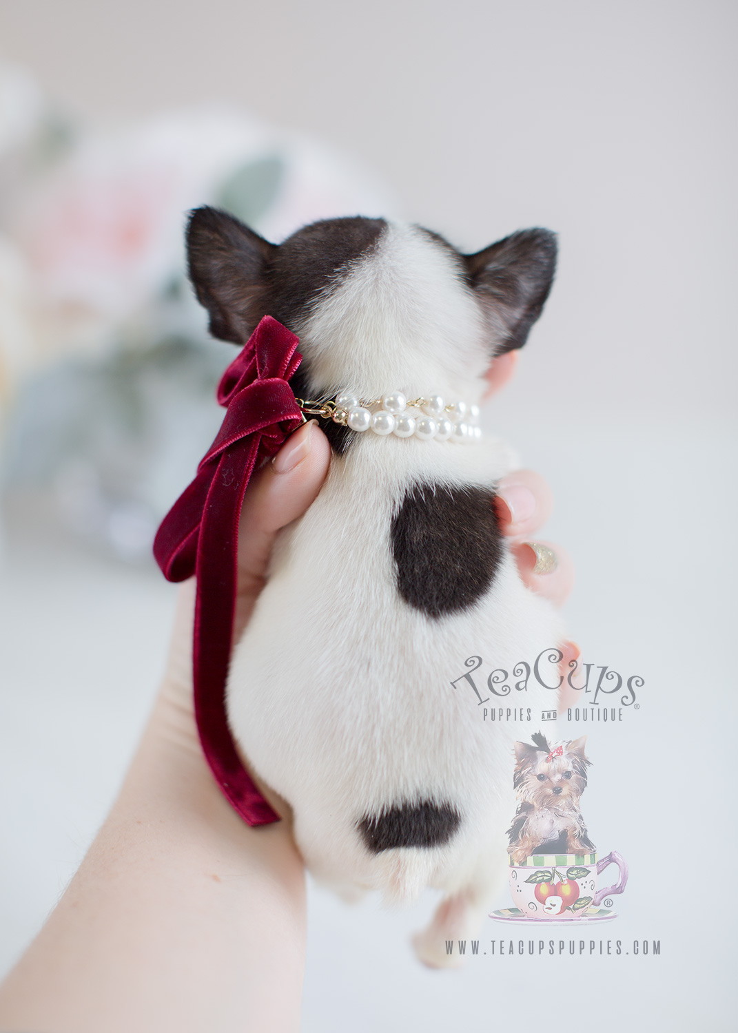 Tiny Pied French Bulldog Puppy