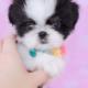 Shih Tzu Puppy ID #307