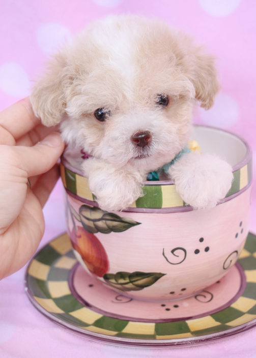 Toy Poodle Puppy ID #303