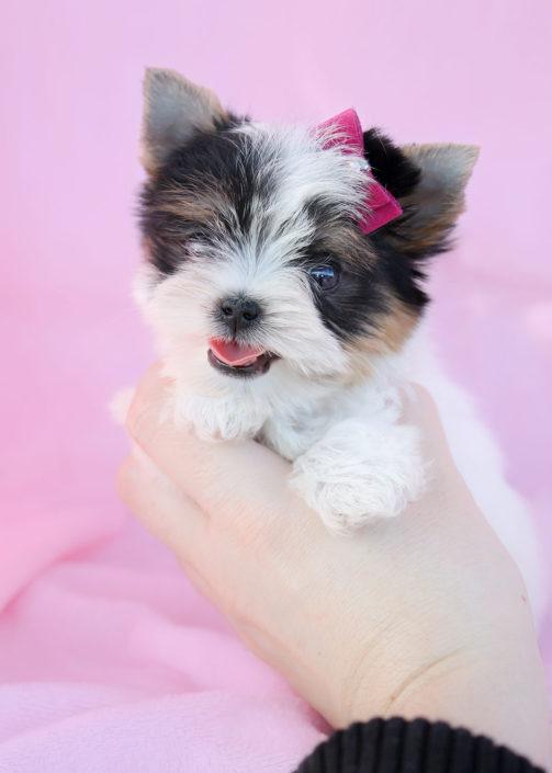 Teacup Biewer Terrier Puppy ID #343