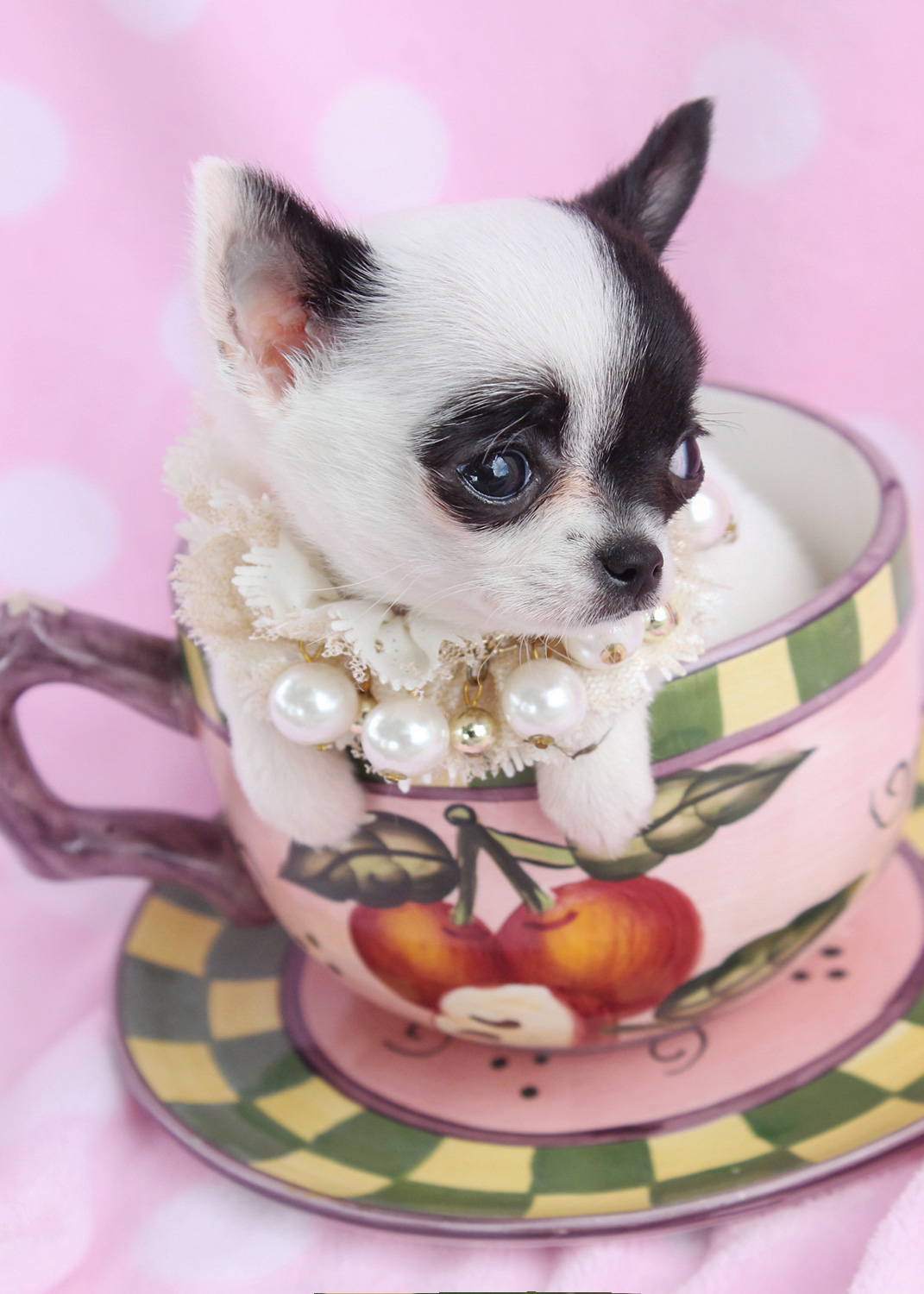 chihuahua for sale in florida chihuahua puppies for sale south florida teacups 2446