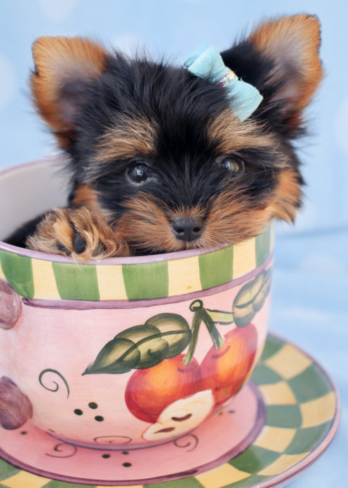 Yorkshire Terrier Puppy ID #264