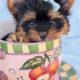 Yorkshire Terrier Puppy ID #264