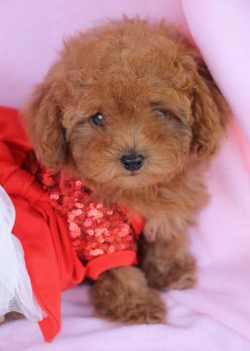 Toy Poodle Puppy #414 For Sale