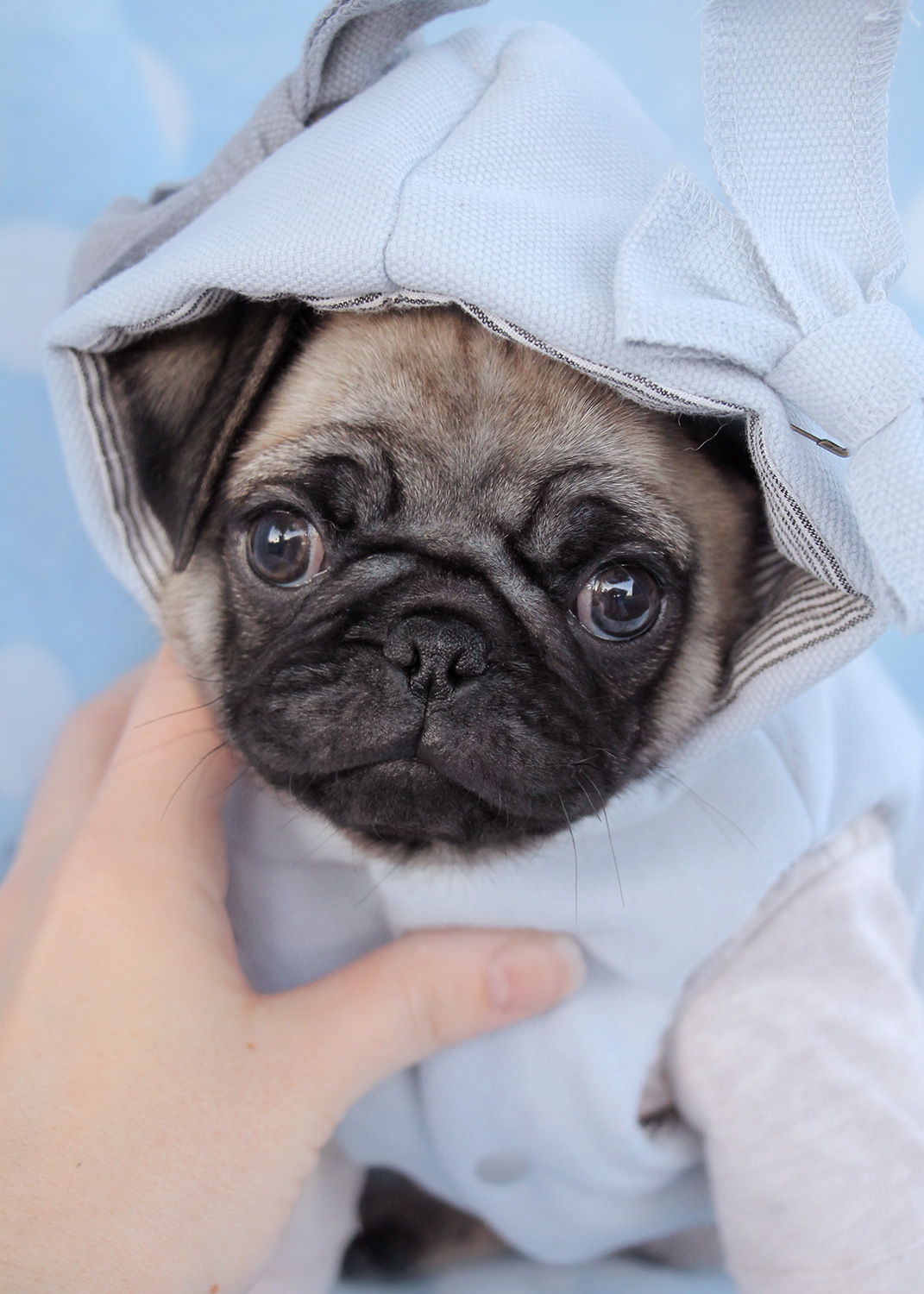 Pug Puppies For Sale in Miami / Fort Lauderdale FL | Teacups