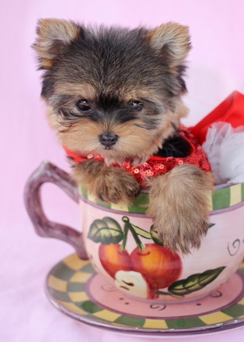 Yorkshire Terrier Puppy ID #387