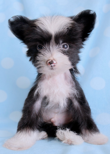 Chinese Crested Dogs For Sale In Florida