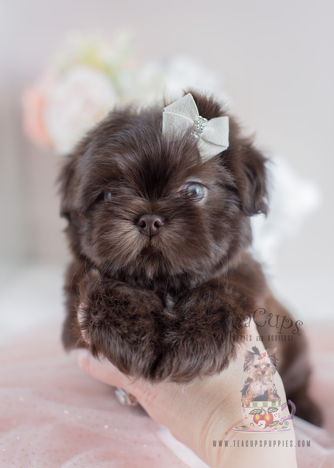 Chocolate Shih Tzu Puppies For Sale South Florida