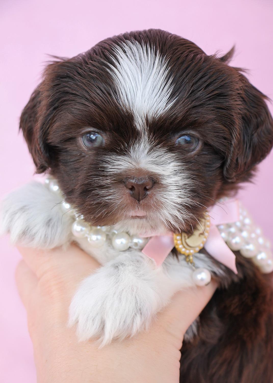 Shih Tzu Puppy #005