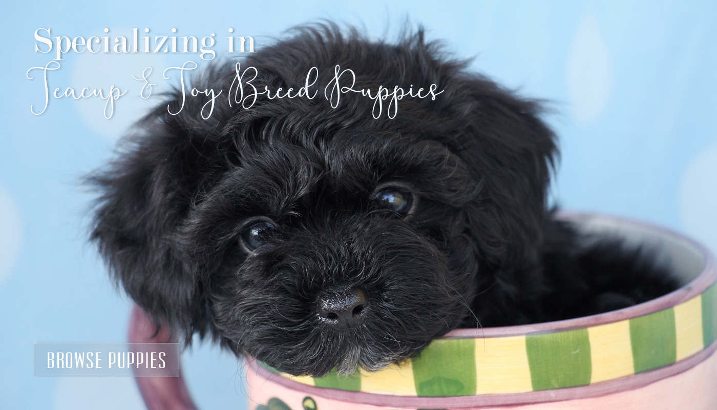 Tiny Teacup Puppies For Sale