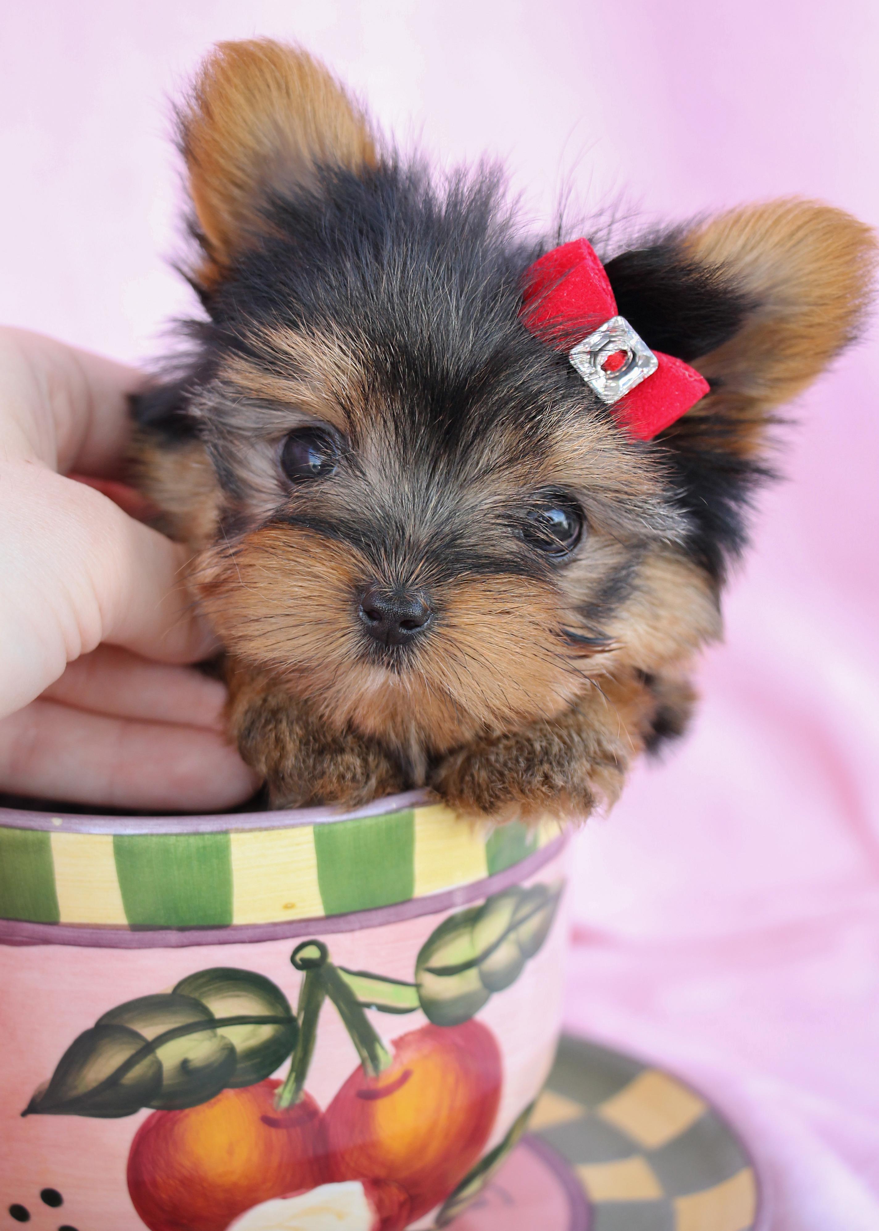 Delightful Teacup Yorkshire Quot Yorkie Quot Terrier Puppies For