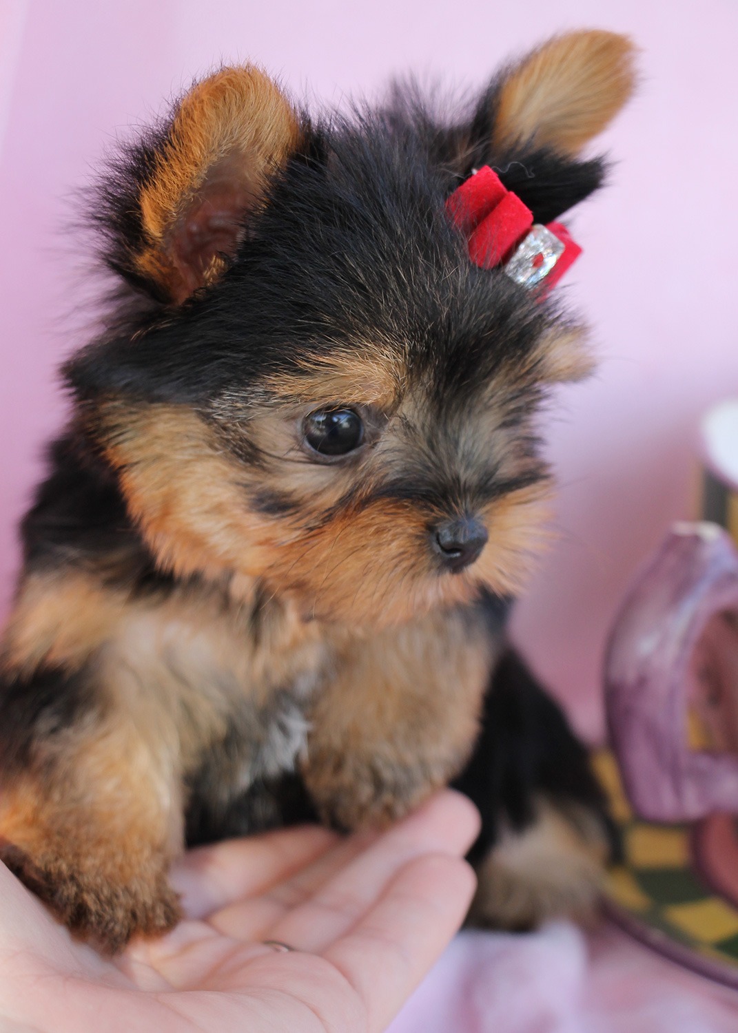Delightful Teacup Yorkshire Yorkie Terrier Puppies For