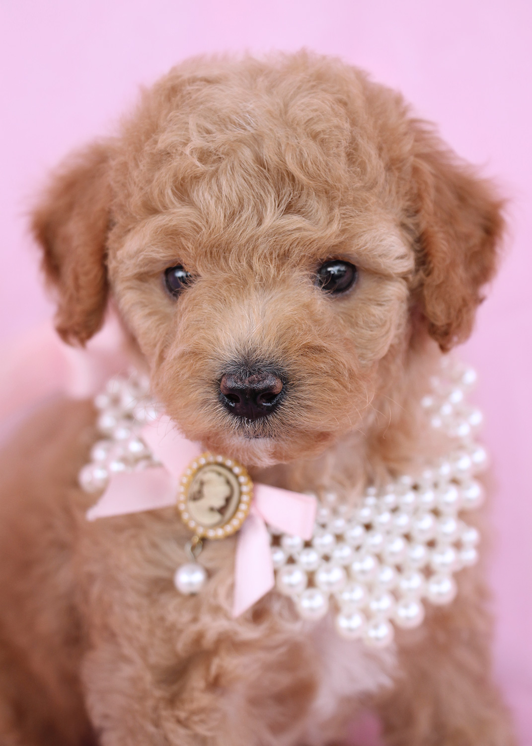 Cute Toy Poodle Puppies In Davie Florida Teacups Puppies Boutique
