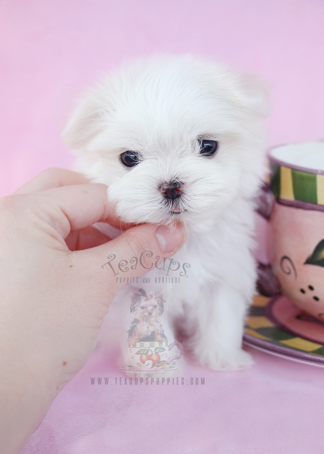 Teacup Maltese For Sale At Teacups Puppies And Boutique