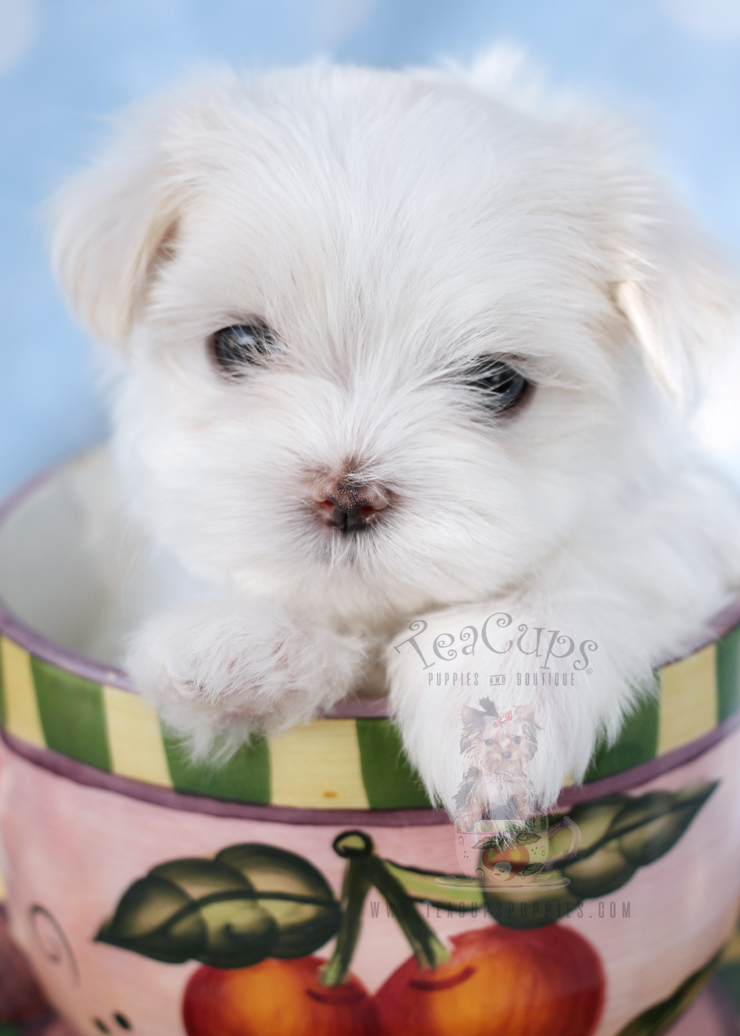 Little Teacup Maltese Puppy For Sale #040