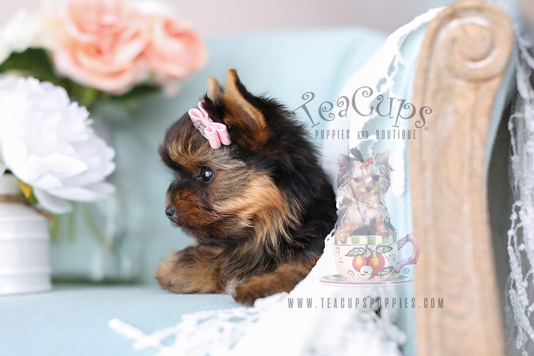 Teacup Yorkies by TeaCup Puppies and Boutique