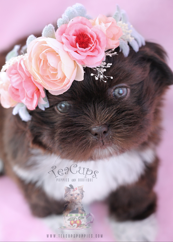 Chocolate Shih Tzu Puppy For Sale #071