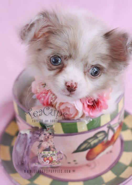 Long Haired Chihuahua Puppy For Sale