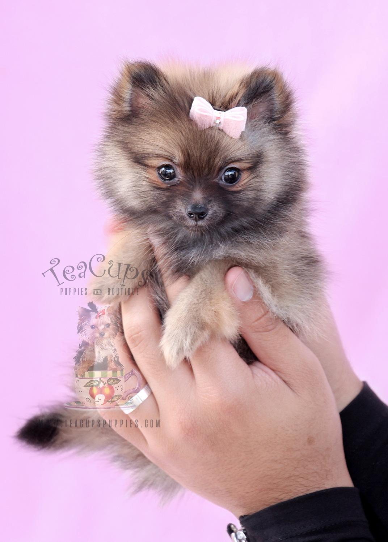 Pomeranian Puppy #065
