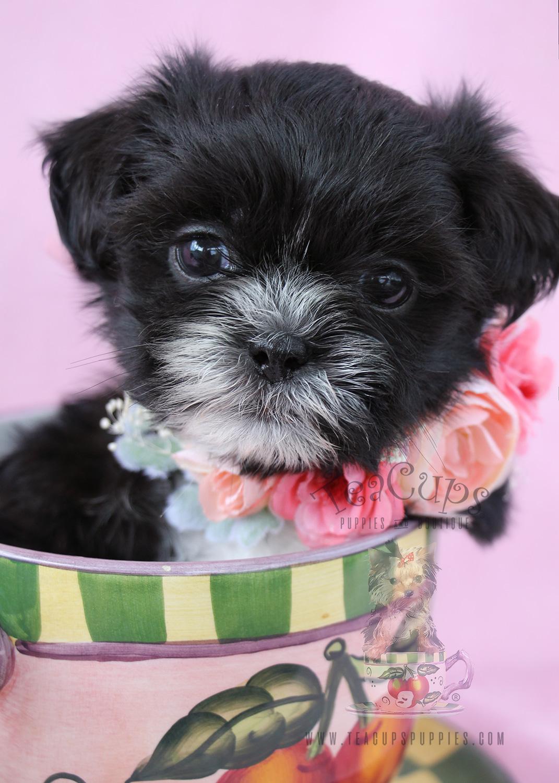 Shih Tzu Puppy For Sale #069