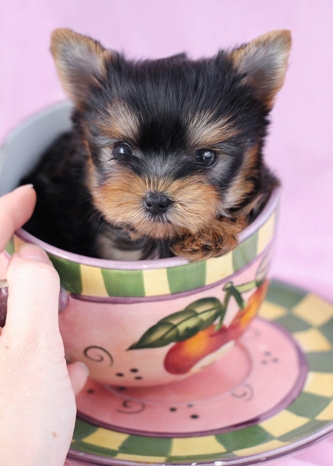 Tiny Teacup Yorkie Puppy For Sale #064