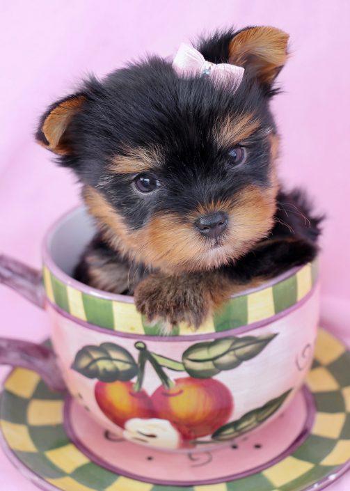 Adorable Yokshire Terrier Puppy For Sale