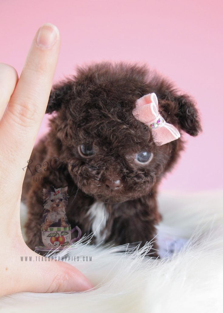 Teacups, Puppies & Boutique | A RARE MICRO-TEACUP CHOCOLATE POODLE