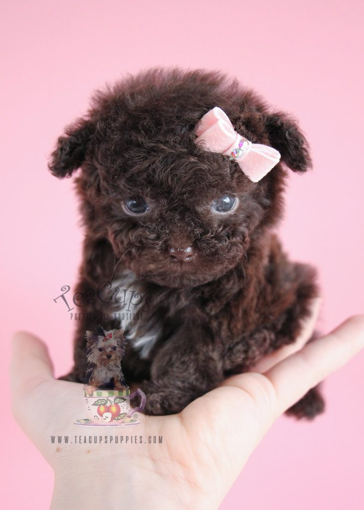 Teacups Puppies Boutique A Rare Micro Teacup Chocolate Poodle