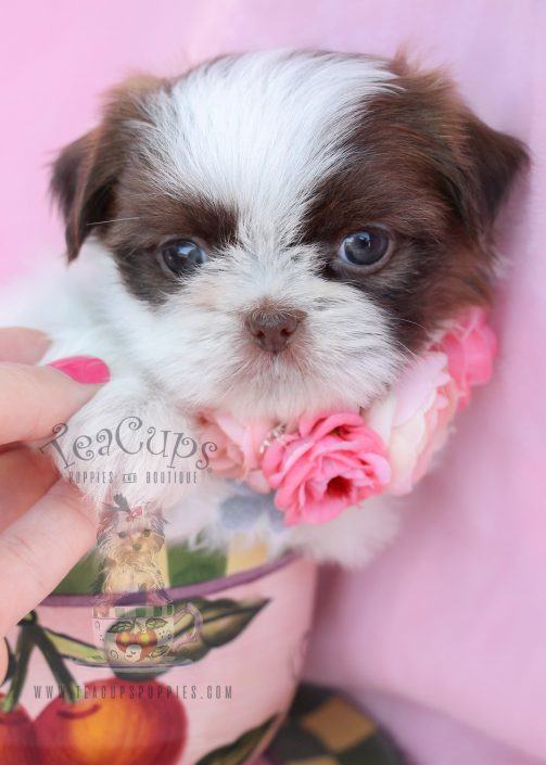 Beautiful Shih Tzu Puppies For Sale by TeaCups