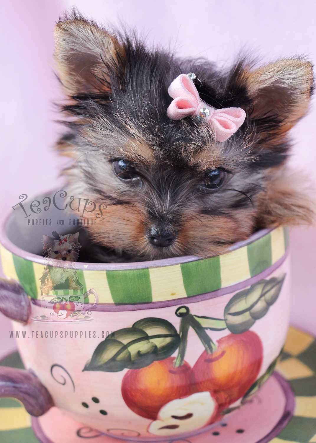 Yorkies For Sale in South Florida