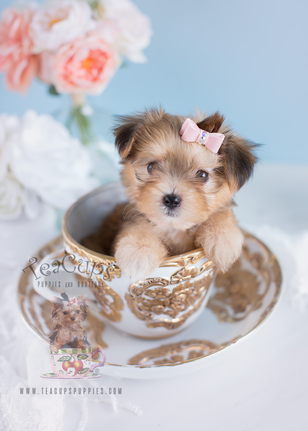 Morkie Puppies For Sale By Teacups Teacups Puppies