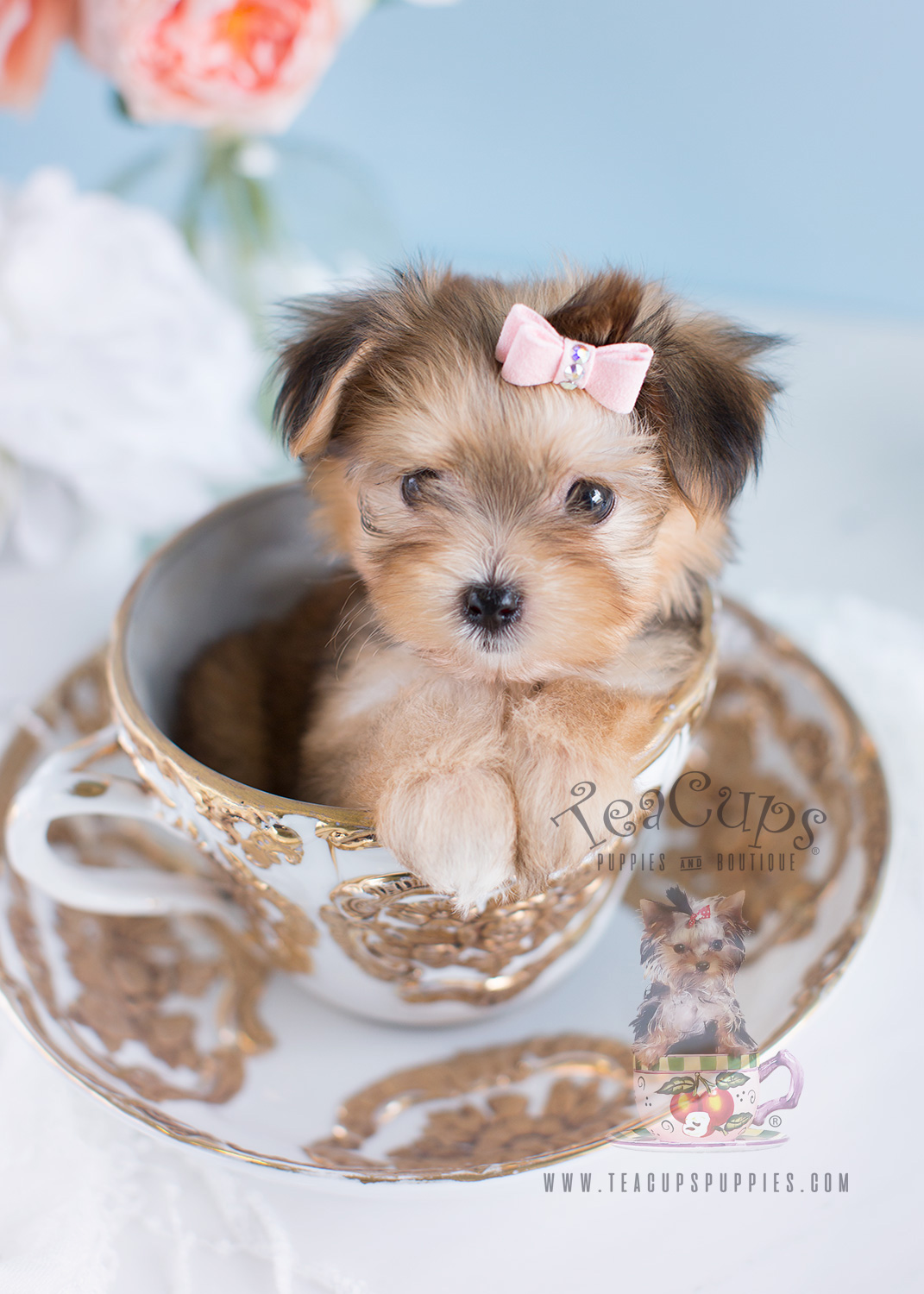Morkie Puppies For Sale South Florida